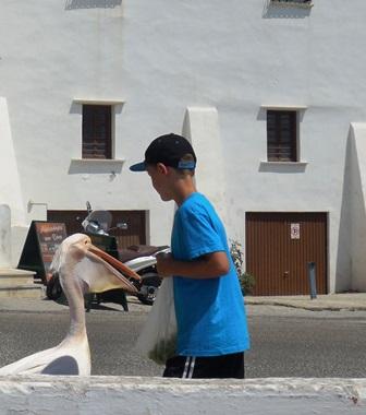 Pelikan auf Tinos