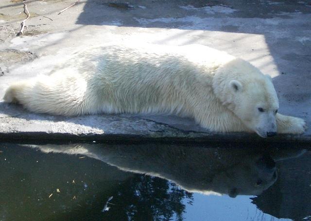 Eisbär im Rostocker Zoo