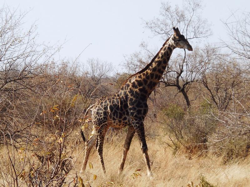 Afrika_Safari_mit_Kindern, Giraffe