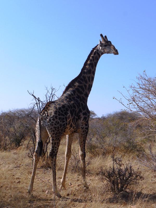 Giraffe im Mokolodi Nature Reserve, Familiensafari_Botswana