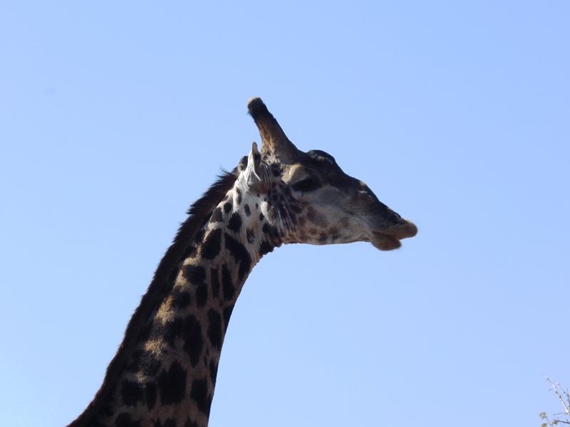 Giraffe, Afrika_Safari_mit_Kindern