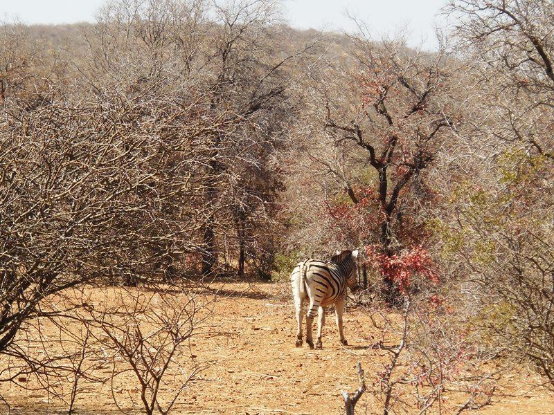 Zebra von hinten, Familiensafari_Botswana