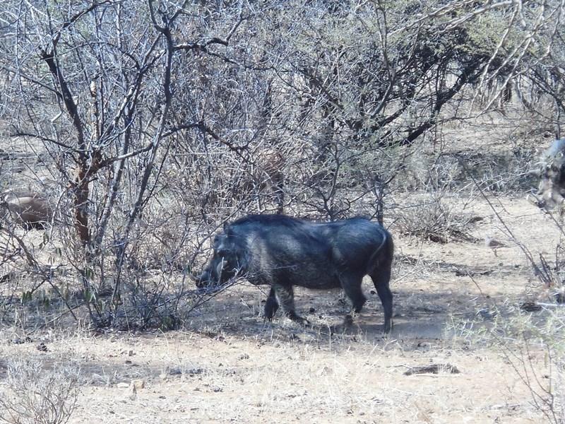 Warzenschwein_Botswana_Safari