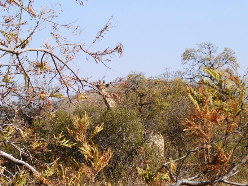Giraffe_Safari_Botswana