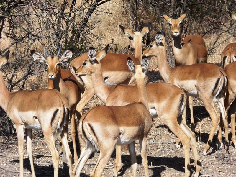 Springbock_Safari_Botswana