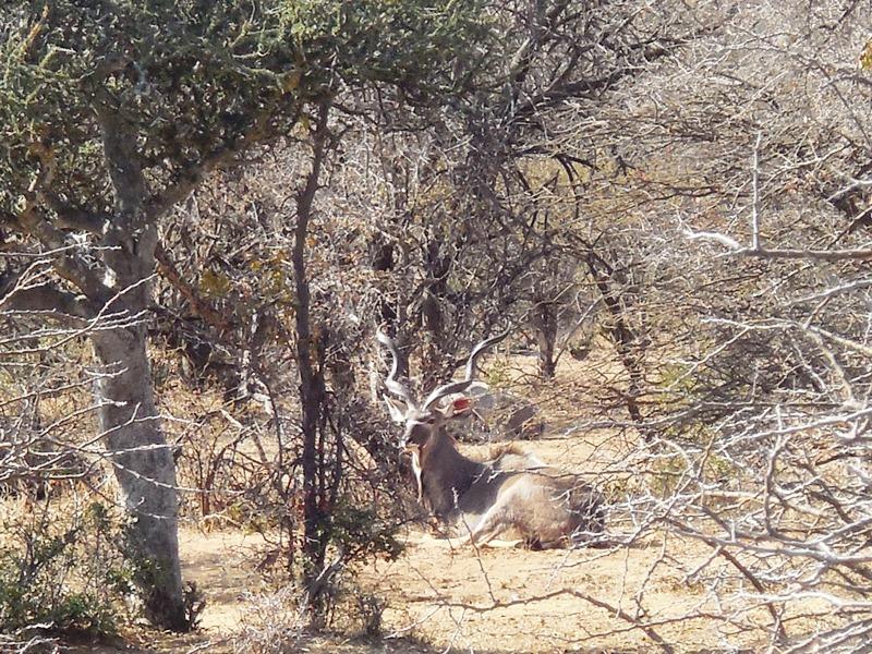 Kudu_Safari_Afrika_Botswana