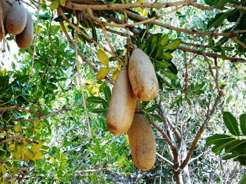 sausage_tree_botswana