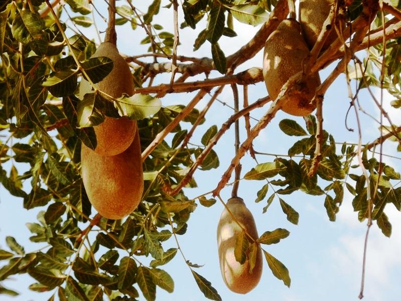 Leberwurstbaum Botswana