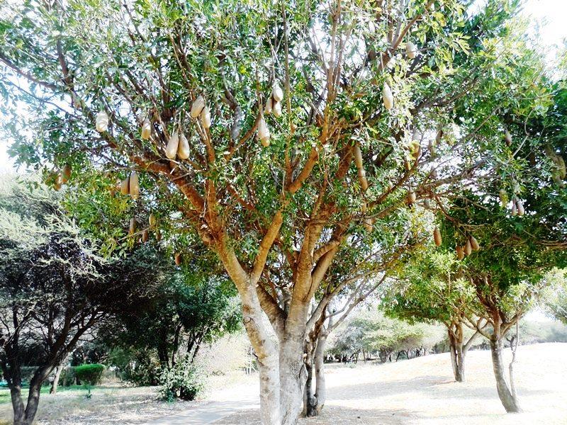 Leberwurstbaum, sausage_tree_botswana