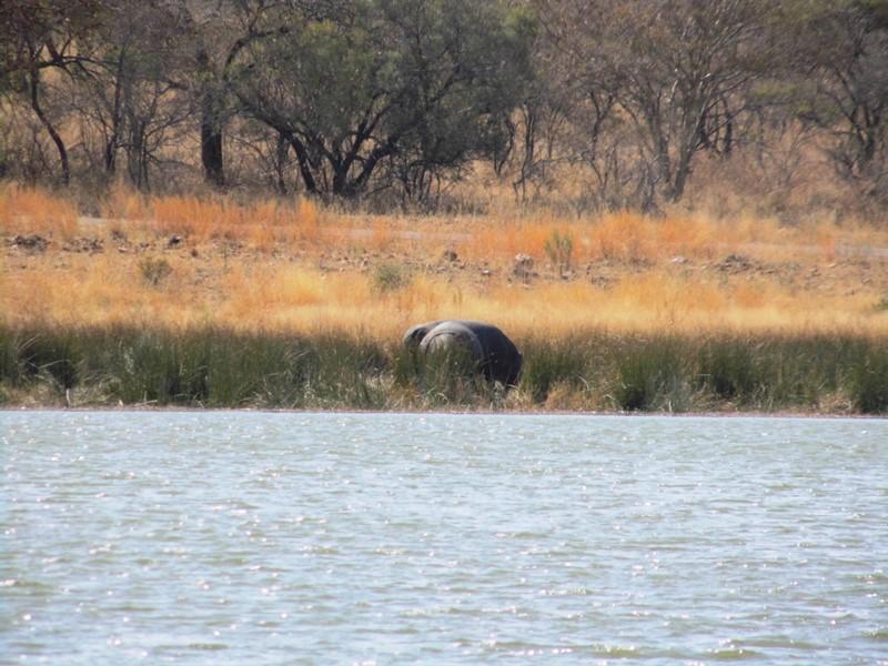 Flusspferde_Mokolodi_Nature_Reserve_Botswana