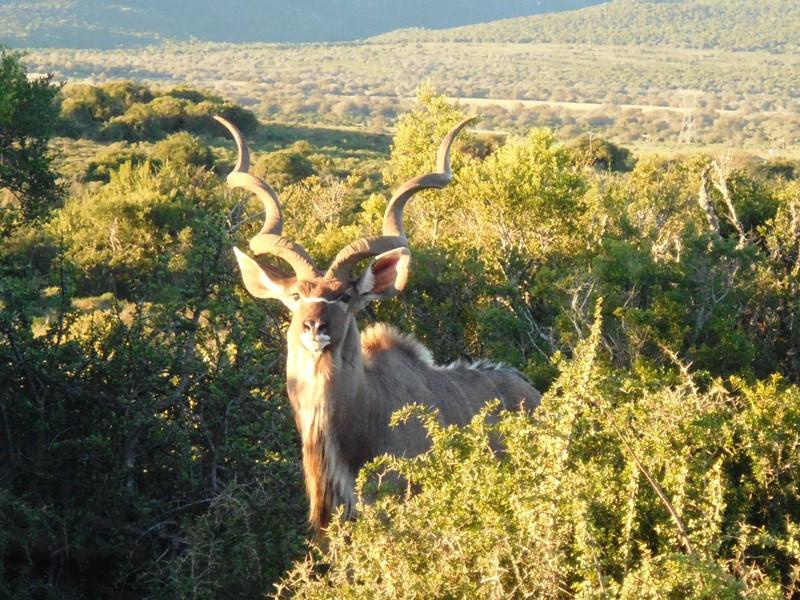 Kudu_Addo_Elephant_Park_Safari