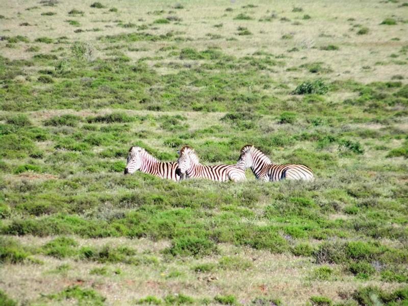 Zebra_im Addo Elephant National Park