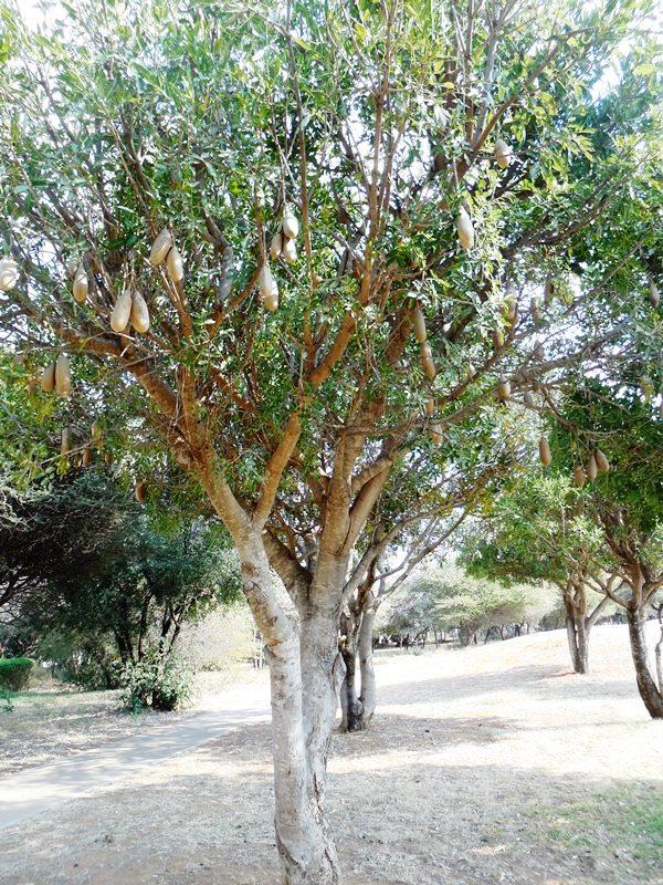 Leberwurstbaum_Botswana