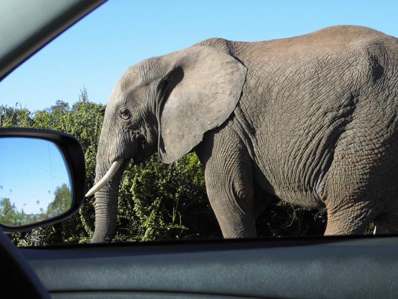 Selbstfahrersafari_suedafrika_addo_elephant