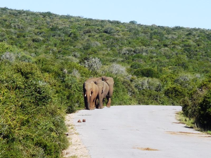 Elefanten, Familiensafari_im Addo