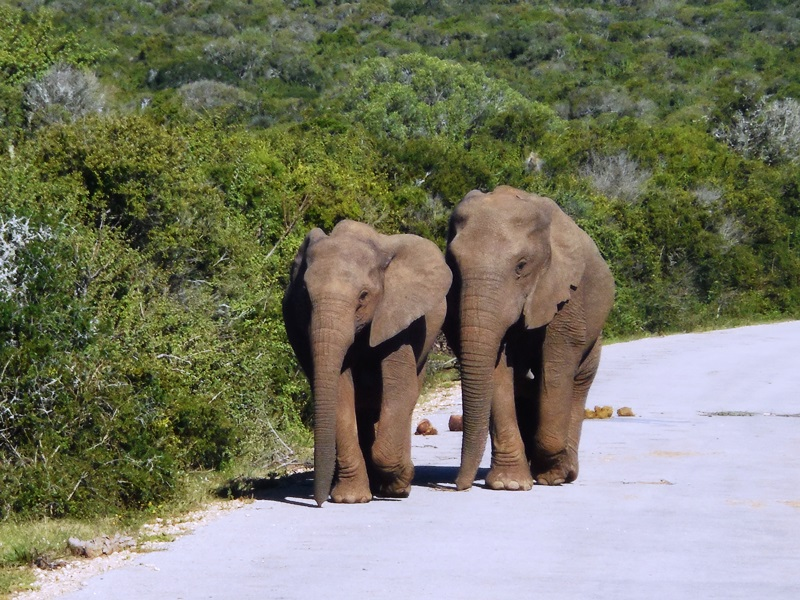 Big Five / Big Seven Addo Elephant National Park, Südafrika