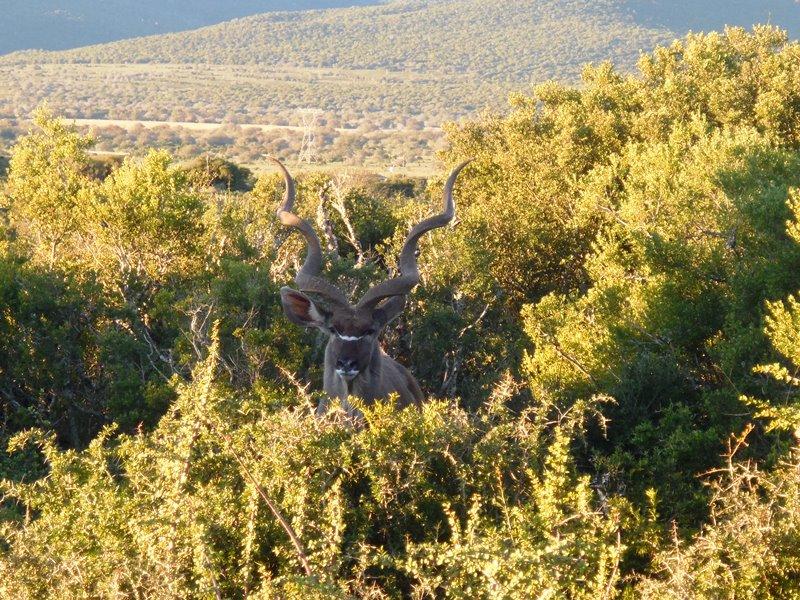 Kudu_Afrika Safari_mit_Familie
