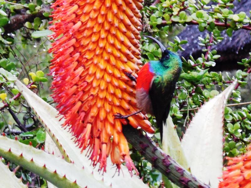 Sunbird Tierbebachtung mit Famile Südafrika