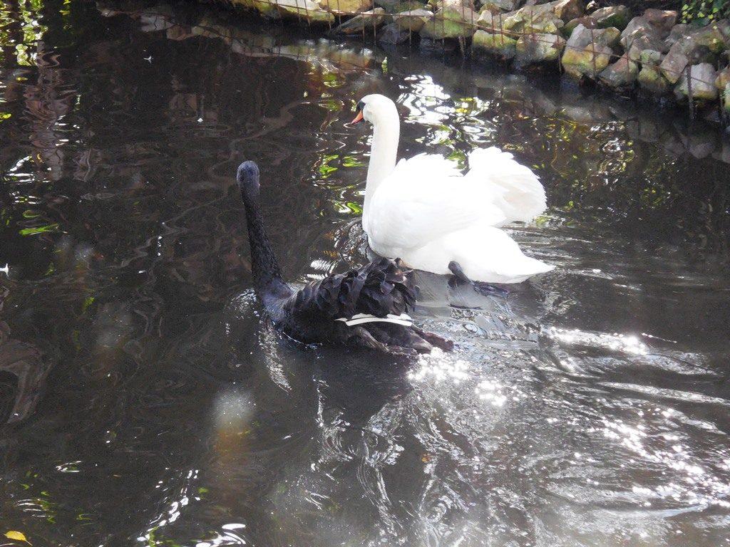 Schwarzer und weißer Schwan, Südafrika