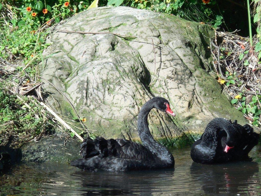 Schwarzschwan_Trauerschwan_Vogelfreifluggehege Südafrika