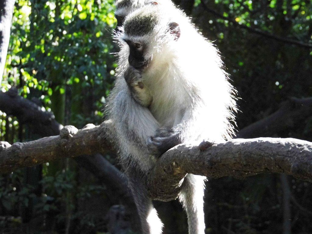 Garden Route Tipp_Südafrika_Monkeyland_Affenfreigehege