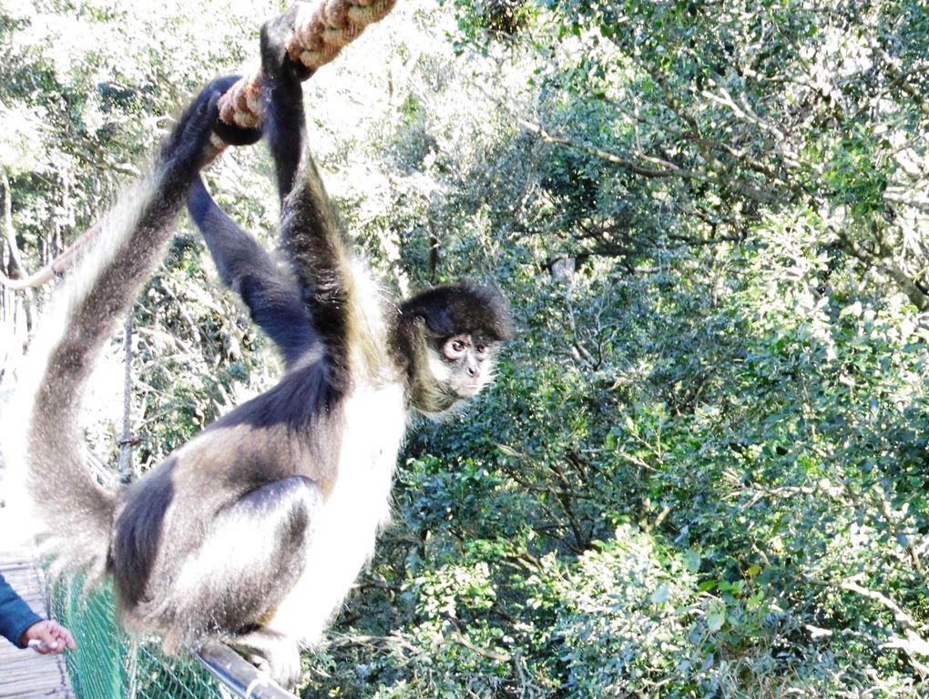 Affe im Monkeyland_Affengehege_Südafrika