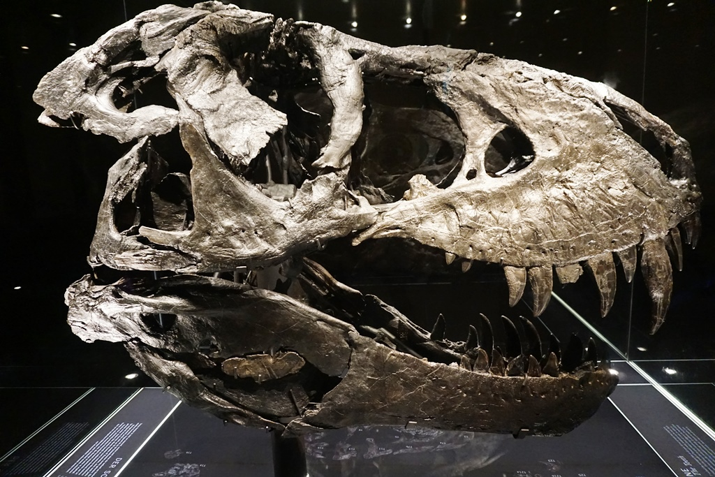 Naturkundemuseum Berlin_T.rex Tristan Otto