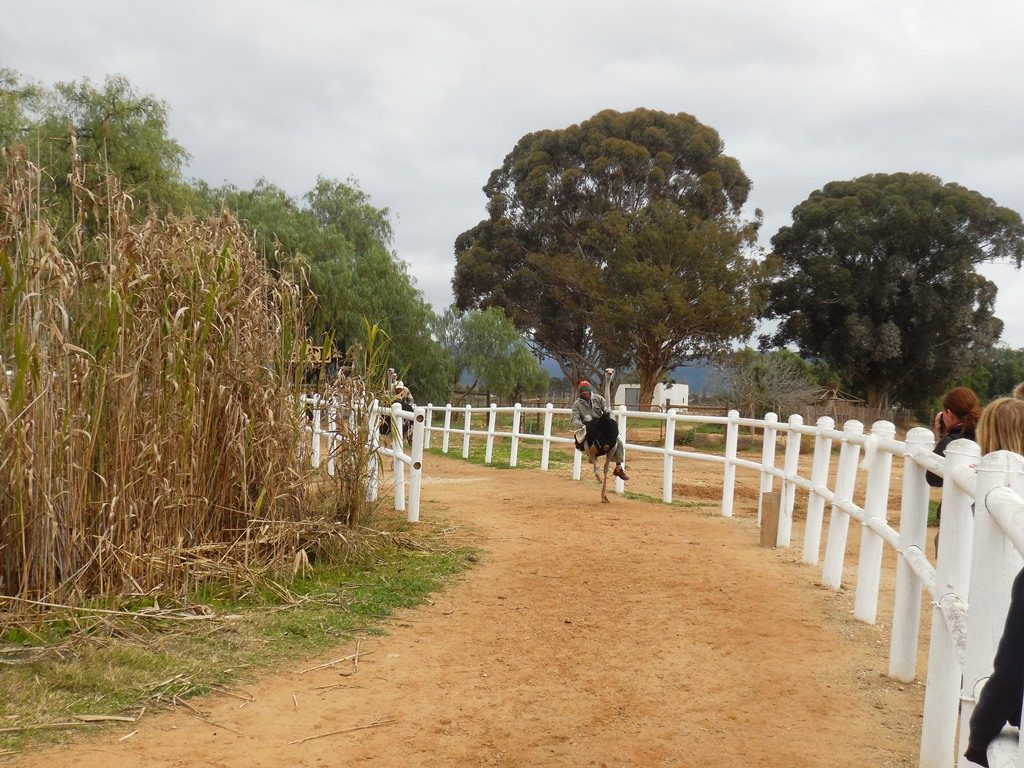 Straußenrennen Straußenfarm Oudtshoorn_mit Kindern