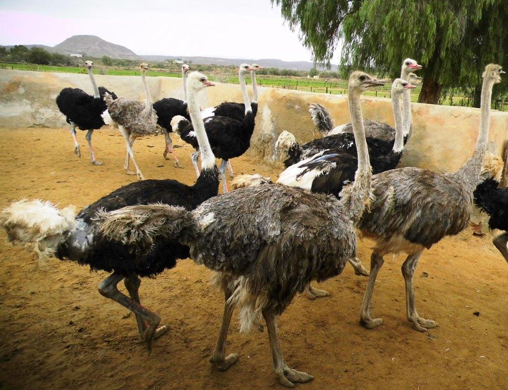 Straußenfarm Oudtshoorn_Südafrika-Reise mit Kindern