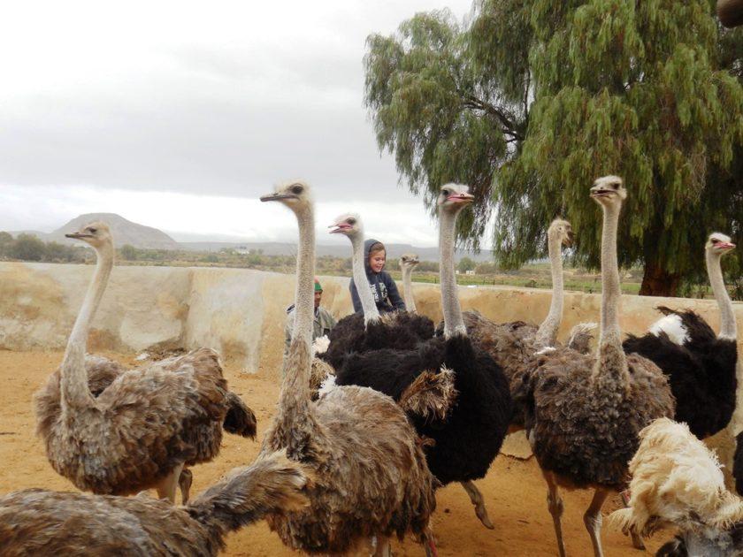 Straußenreiten Oudtshoorn Südafrika