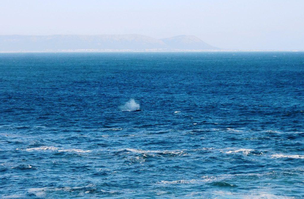 Auftauchen der Wale mit Fontaine vor Hermanus, Südafrika