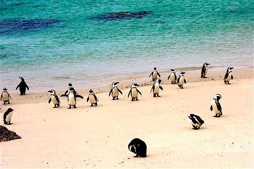 Piguinkolonie Boulders Beach Südafrika