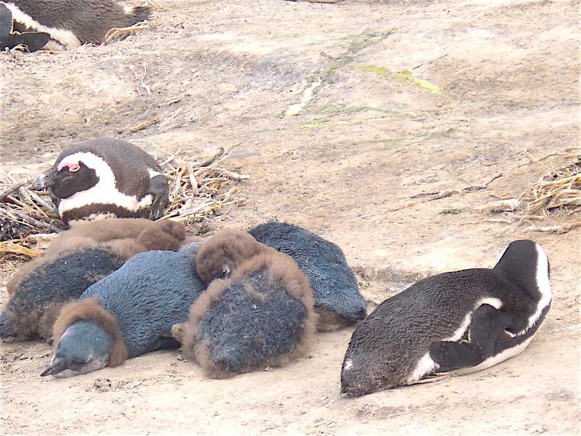 Pinguine_Boulders_Beach_Simon_Town
