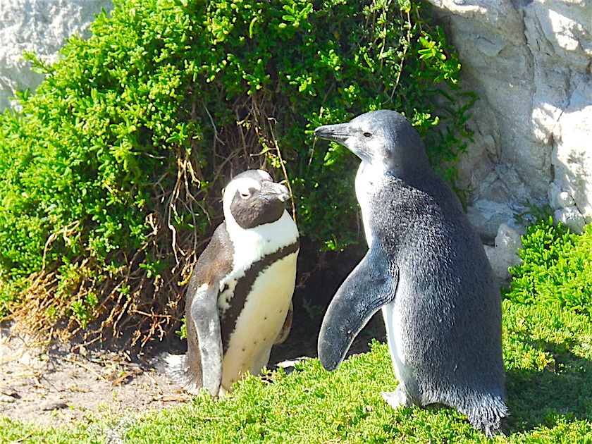 Pinguine_Stony_Point_Bettys Bay