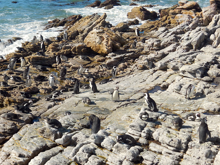 Pinguinkolonie Südafrika_Stony Point