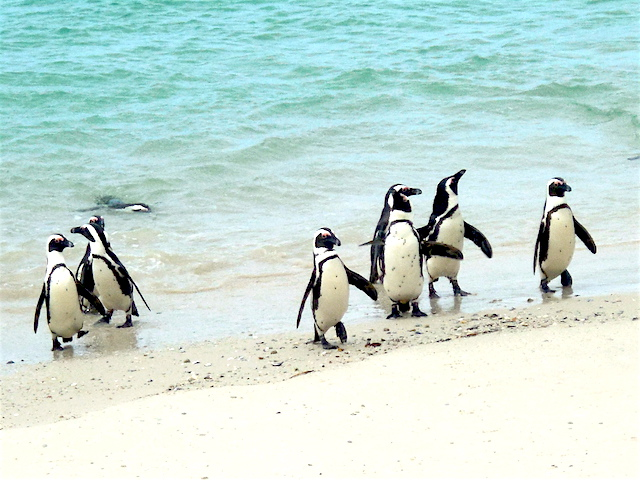 Pinguinkolonie Boulders Beach, Kapstadt, Südafrika