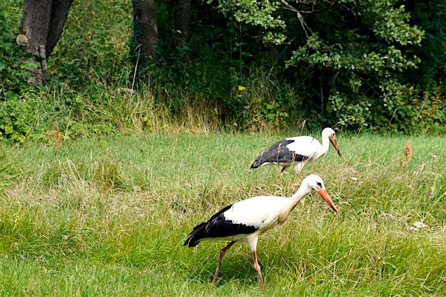 Estland Storch bei Pärnu
