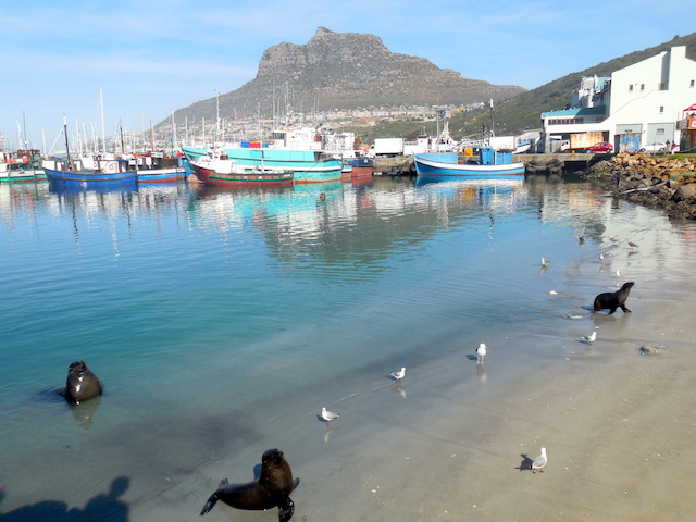 Robben Südafrika Hout Bay bei Kapstadt