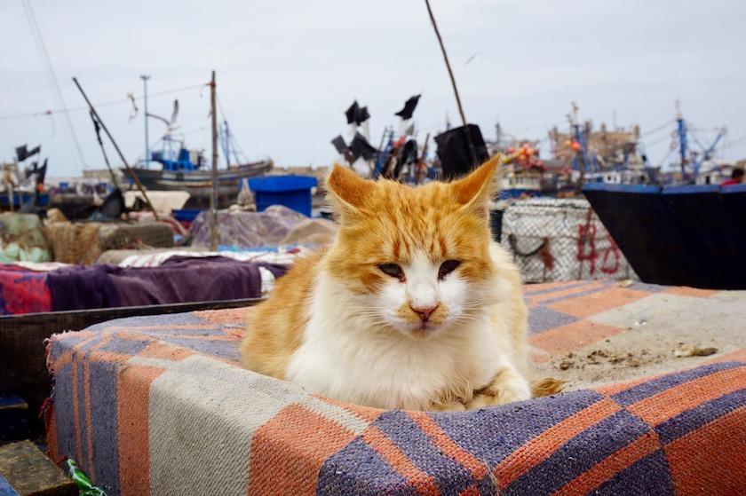 Essaouira Marokko Katzen