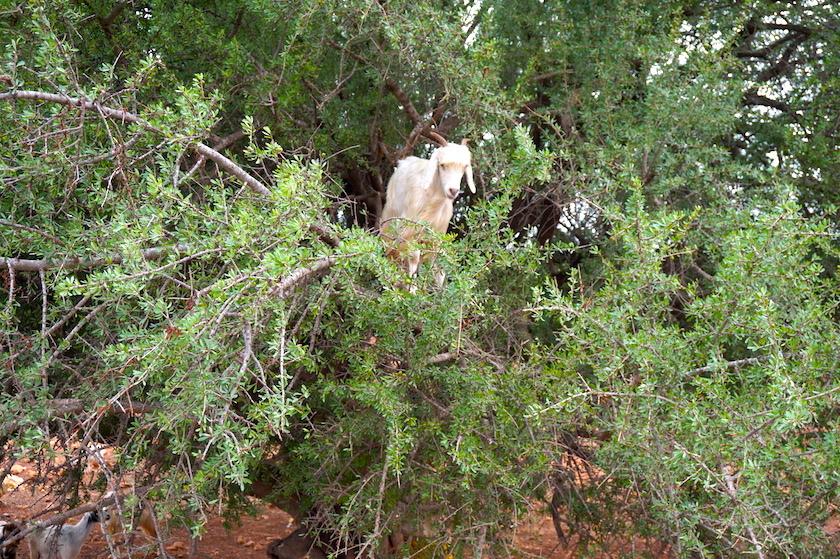 Ziegen im Baum Marokko Essaouira