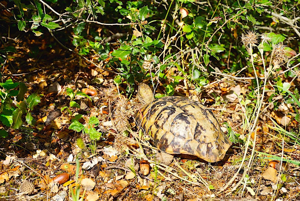 Griechenland Schildkröte