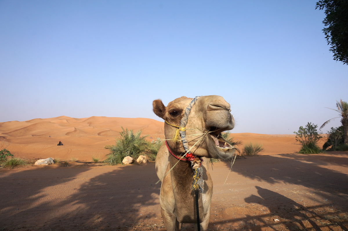Wüstensafari Dubai, Kamele