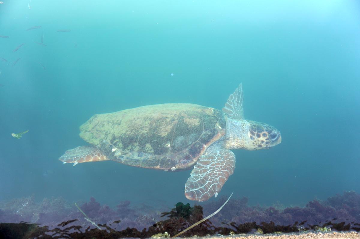 Kefalonia, Meeresschildkröte, Griechenland