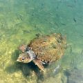 Griechenland Kefalonia Meeresschildkröte caretta caretta