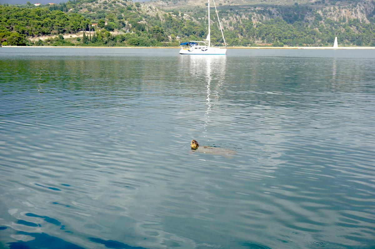 Schildkröten Kefalonia (Griechenland)