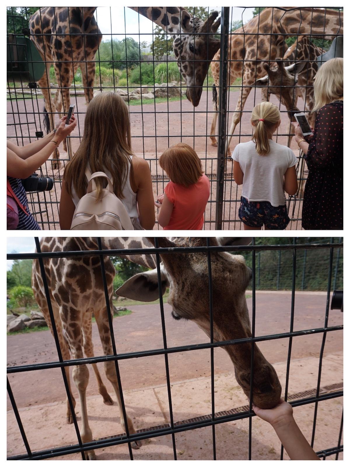 Magdeburg mit Kind, Fütterung der Giraffen im Zoo