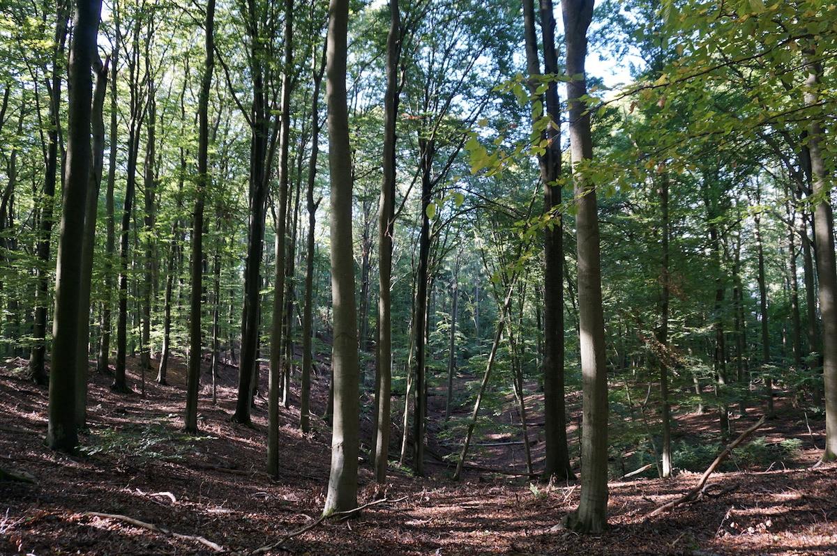 Weltnaturerbe Buchenwald Grumsiner Forst
