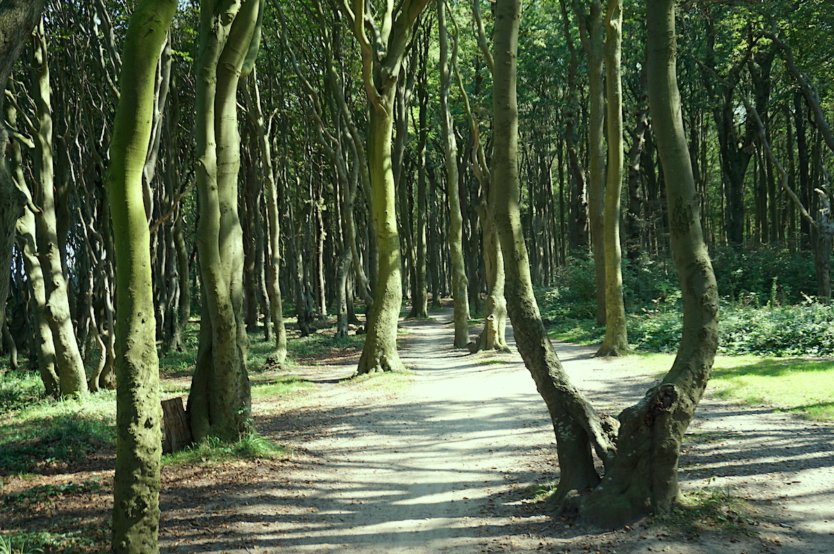 Gespensterwald Nienhagen Ostseeradweg